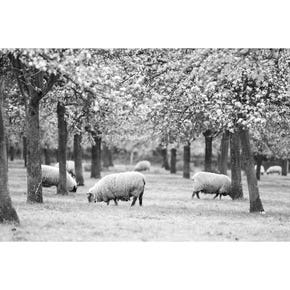 Jake Eastham Sheep in Spring Orchard Greeting Card