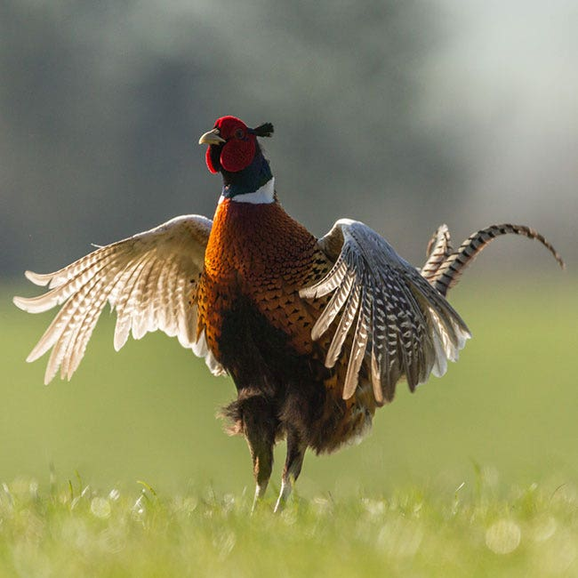 Get Set for Pheasant